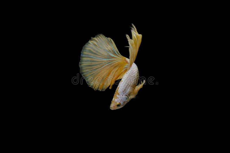 Colore combattente siamese del glod del pesce fotografia stock libera da diritti