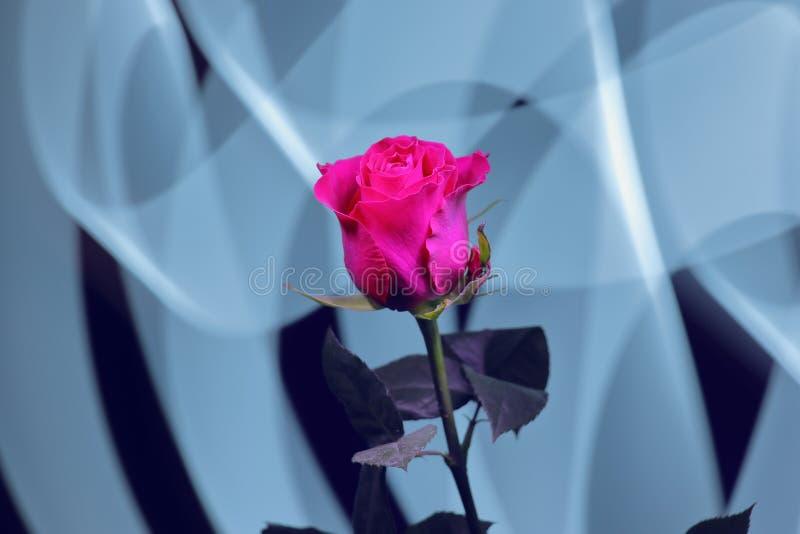 Colore cremisi rosso luminoso della rosa splendida su un fondo astratto immagini stock libere da diritti