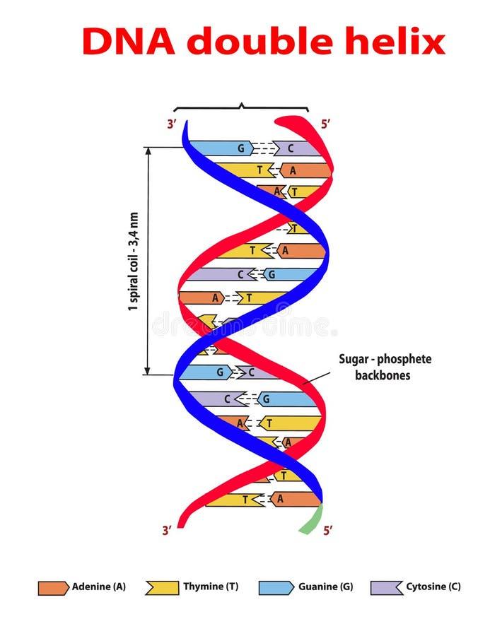 Colore da hélice dobro da estrutura do ADN no fundo branco Nucleotide, fosfato, açúcar, e bases Gráfico da informação de vetor da ilustração do vetor