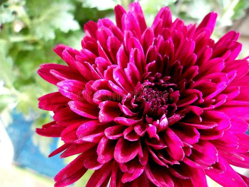Colore del magenta di Crysanthemum fotografia stock libera da diritti