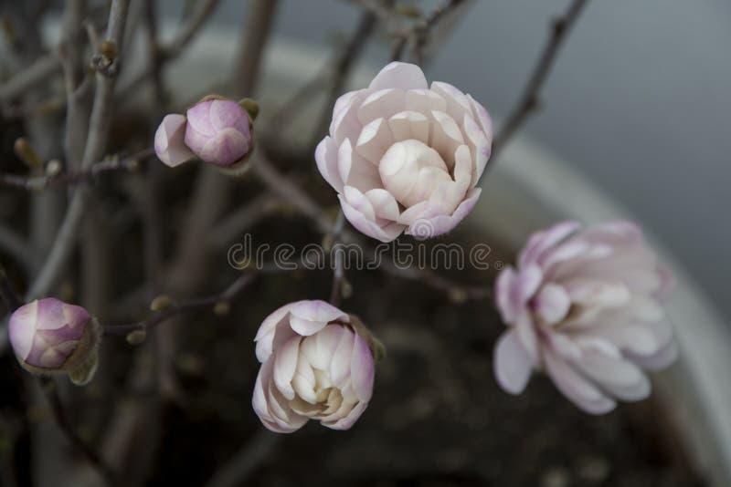 Colore delicato e bello della magnolia immagini stock libere da diritti