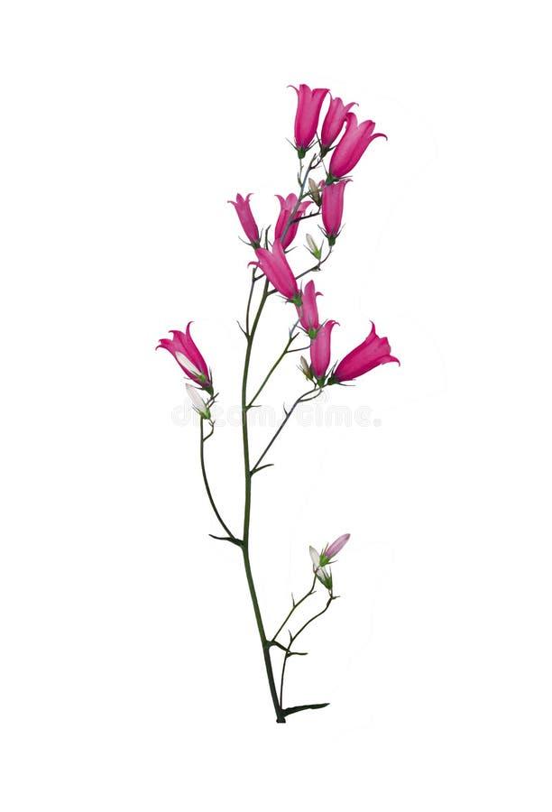Colore dell'amaranto di campanula del Wildflower isolato su bianco fotografia stock libera da diritti