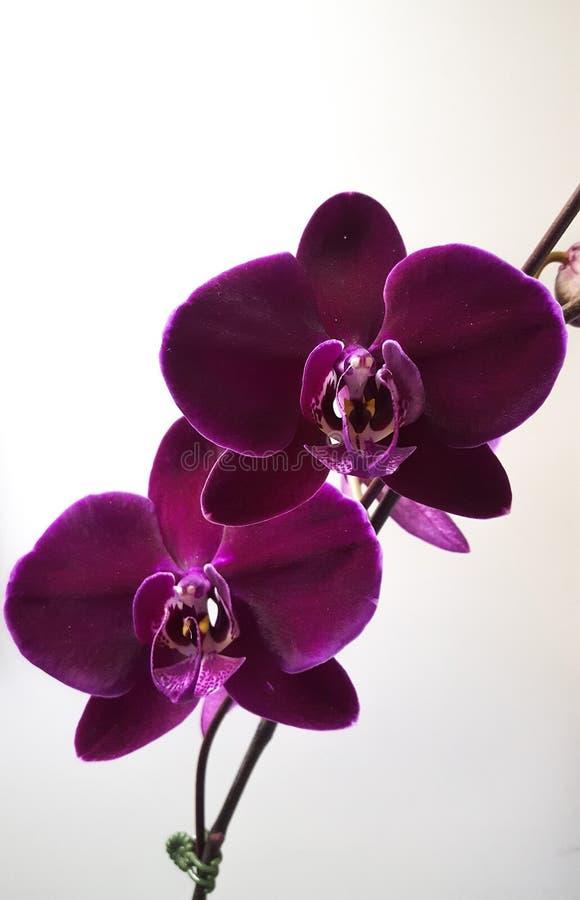Colore della vite del fiore dell'orchidea di Phaleanopsis intenso immagine stock