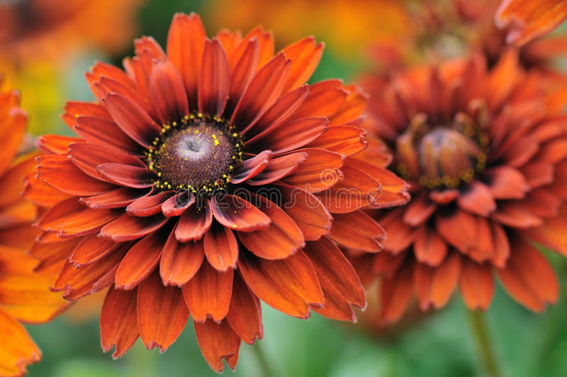 Colore di caduta, fiori di rudbeckia immagini stock