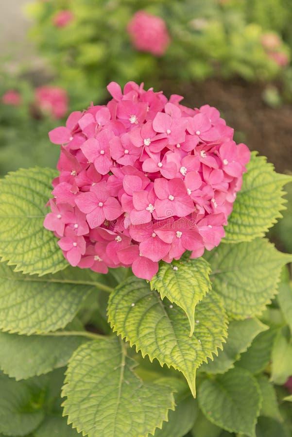 Download Colore Di Fucsia Del Fiore Dell'ortensia Immagine Stock - Immagine di fiore, molla: 94134169