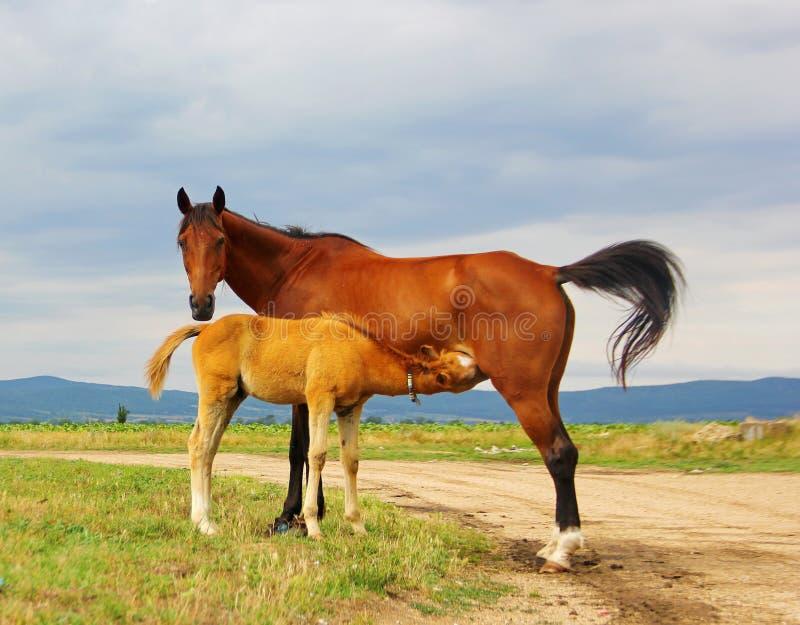 Colore di marrone della madre del cavallo e un piccolo cucciolo fotografie stock libere da diritti