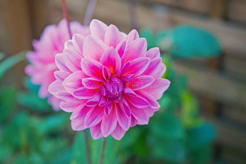 Colore di rosa di Dahila fotografia stock libera da diritti