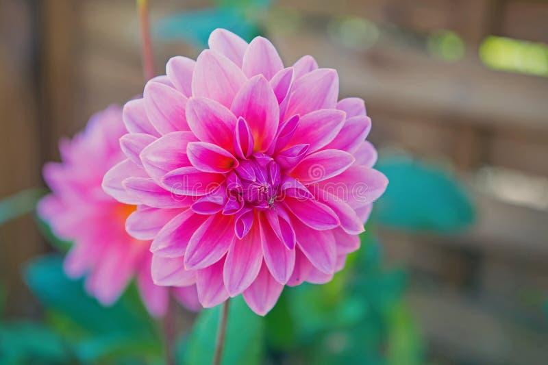 Colore di rosa di Dahila immagini stock