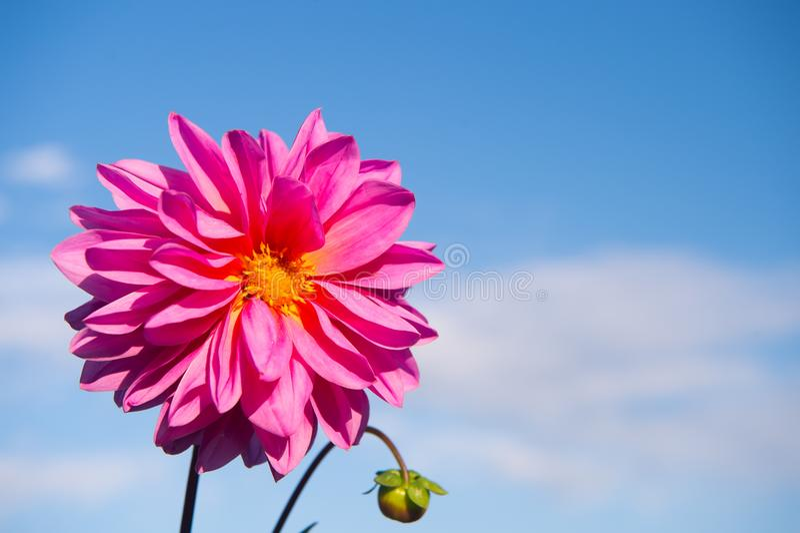 Colore di rosa di Dahila immagini stock libere da diritti