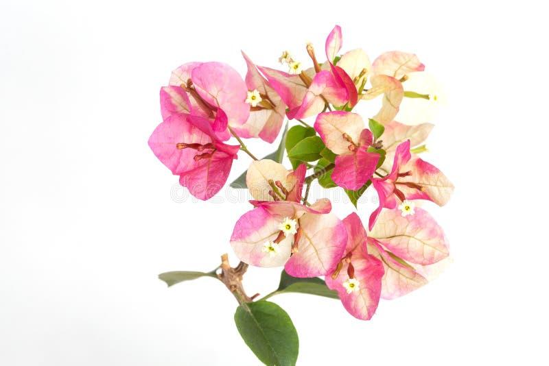 Colore di rosa del camaleonte dell'inflorescenza della buganvillea su un fondo bianco immagini stock