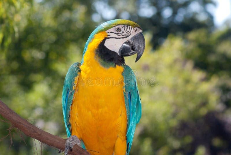 colore giallo blu del macaw fotografia stock