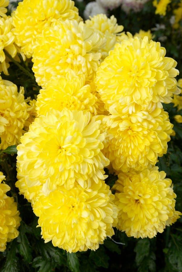 colore giallo dei crisantemi fotografia stock libera da diritti