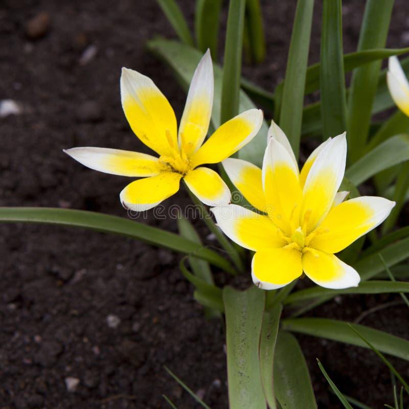 Colore giallo dei gigli della pioggia fotografie stock