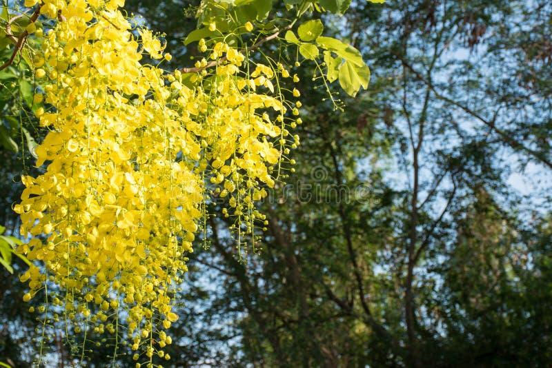 Colore giallo del cassia fistula Linn con il fondo del cielo blu immagine stock libera da diritti