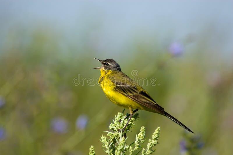 colore giallo del wagtail del motacilla di flava immagini stock