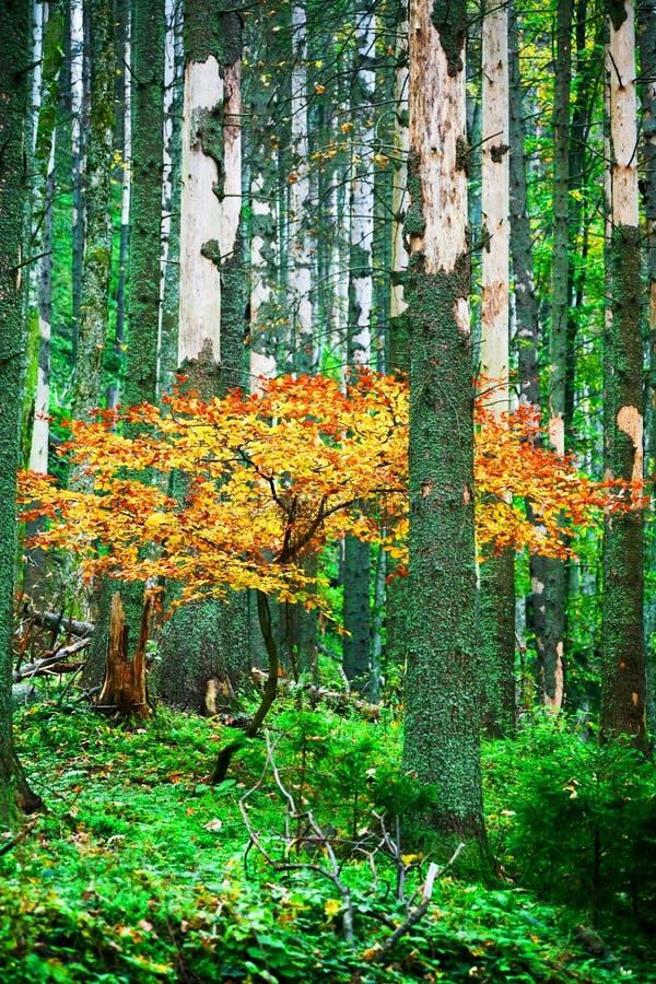colore giallo dell'albero fotografia stock libera da diritti