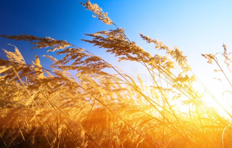 colore giallo dell'erba di autunno fotografie stock