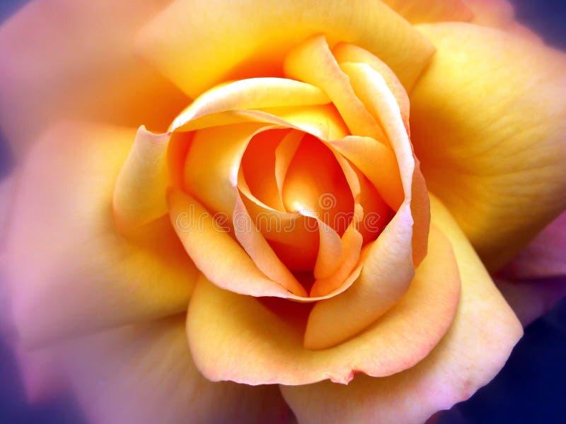 Colore giallo della Rosa fotografia stock libera da diritti
