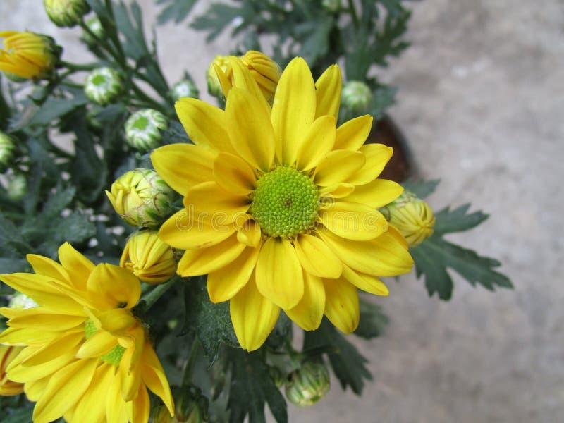 colore giallo floreale dei girasoli del fiore del campo immagini stock libere da diritti