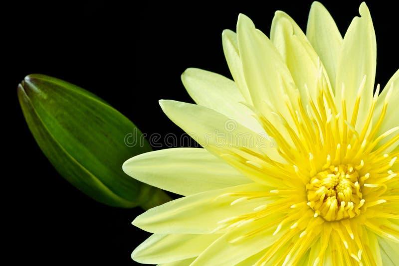 Colore giallo waterlily e germoglio di fiore chiuso fotografia stock libera da diritti