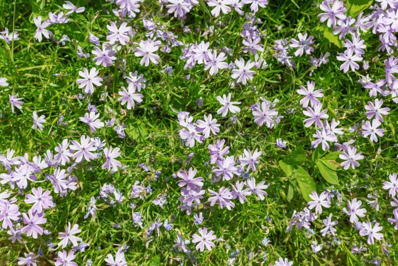 Colore lilla del flox di Subulate, molti colori, vista superiore fotografia stock libera da diritti