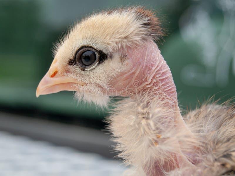 Colore misto del pollo nudo del collo di Turken Transylvanian fotografie stock libere da diritti