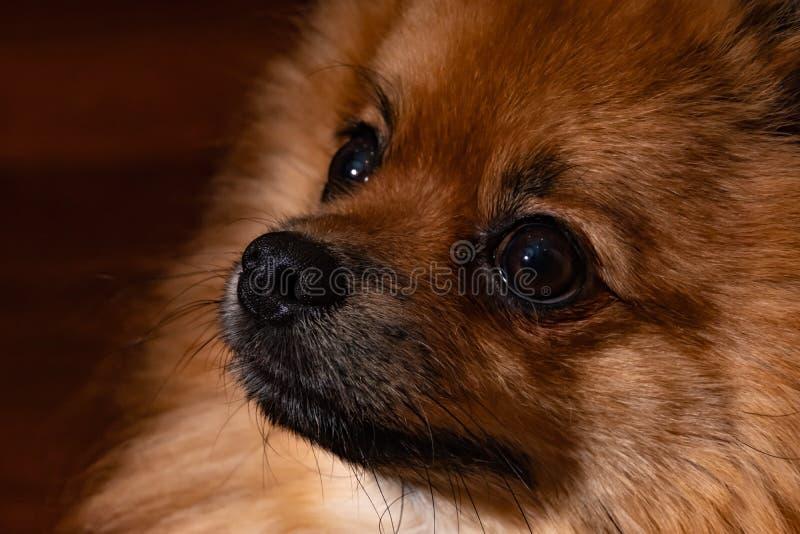 Colore nero e marrone della pelliccia Cane sveglio di Pomeranian fine sul giovane cucciolo immagini stock