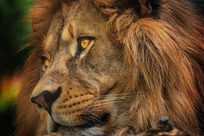 Colore o leão da cara do detalhe do retrato foto de stock royalty free