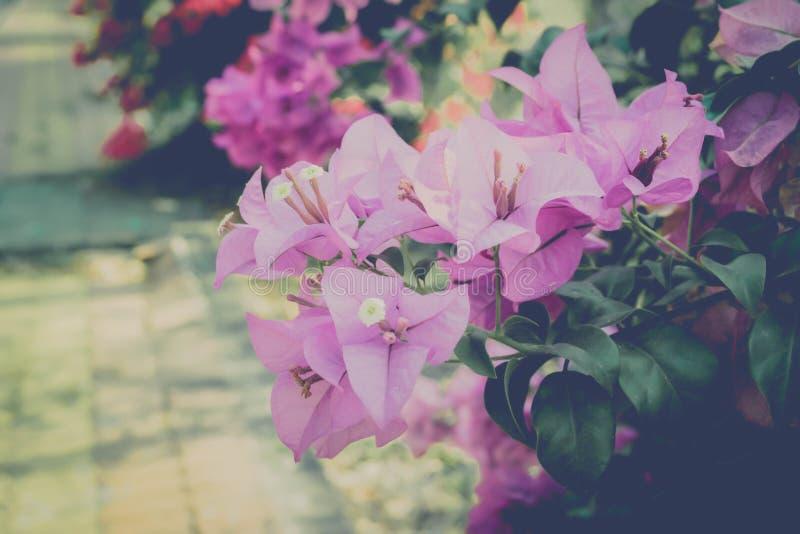 Colore porpora e viola del fiore di carta, fioritura della buganvillea fotografia stock libera da diritti