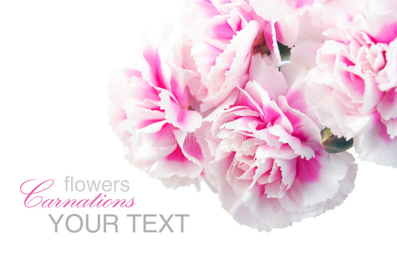 Colore rosa del garofano fotografie stock libere da diritti