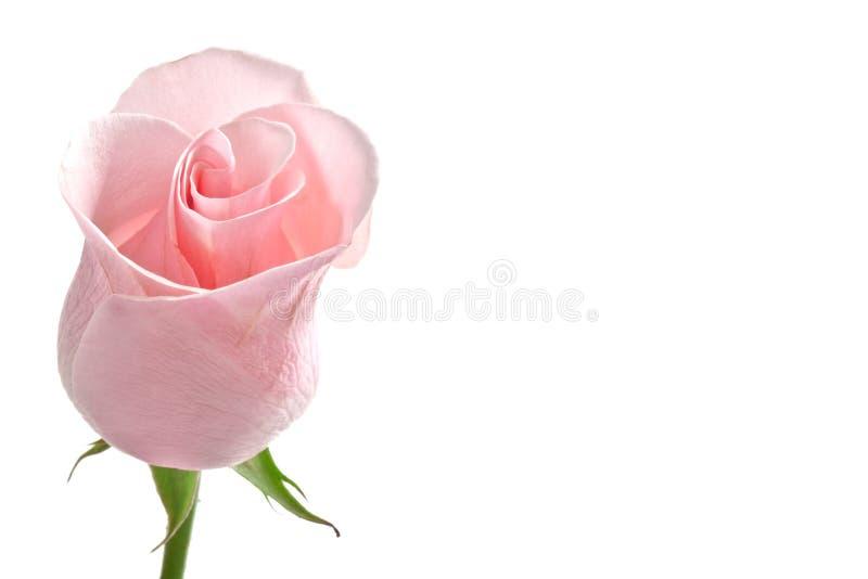 Colore rosa del germoglio della Rosa immagini stock