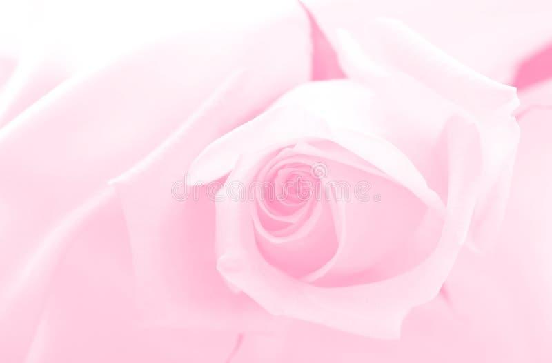 Colore rosa fragile fotografie stock libere da diritti