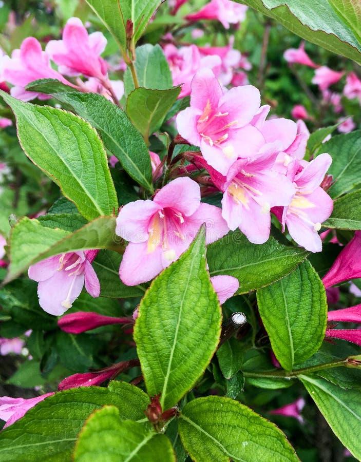 Colore rosa lilly nel giardino fotografia stock