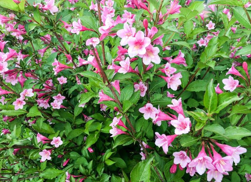 Colore rosa lilly nel giardino fotografie stock
