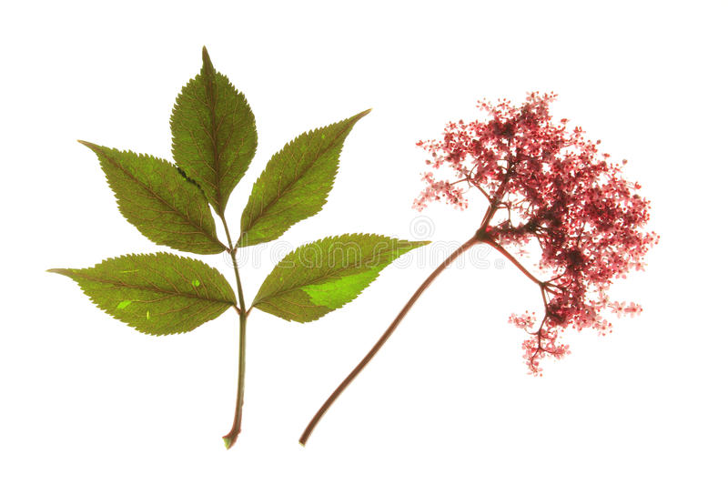 Colore rosso che fiorisce elder nero fotografie stock