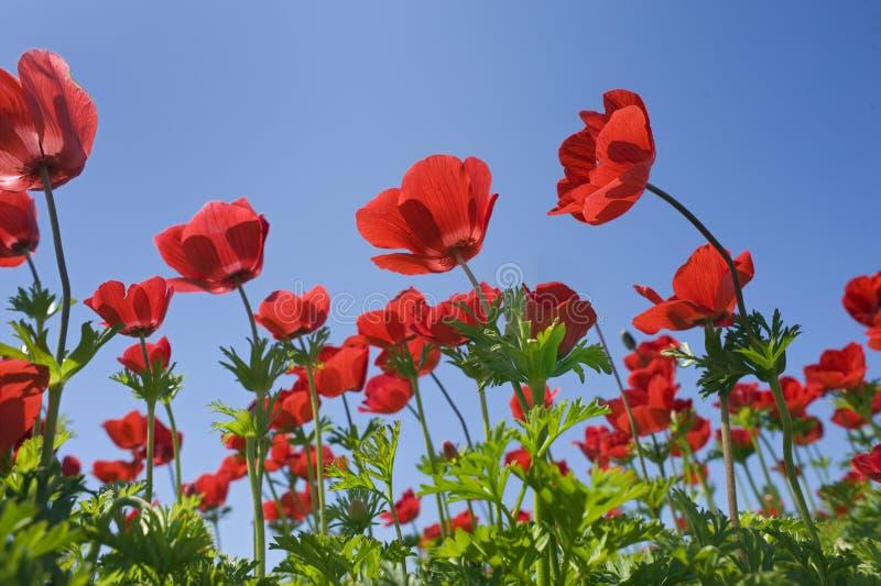 colore rosso del fiore del campo immagini stock libere da diritti