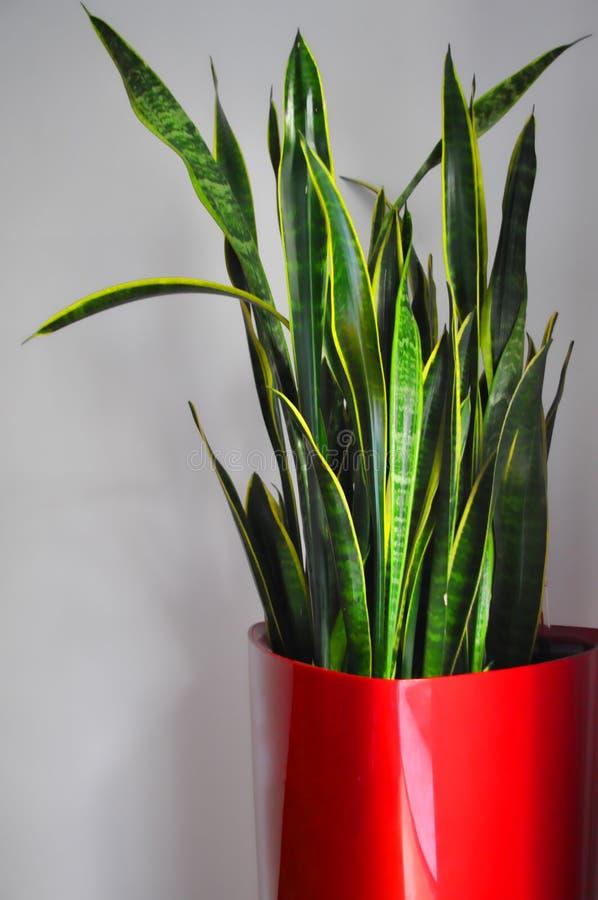 colore rosso del POT della pianta immagini stock