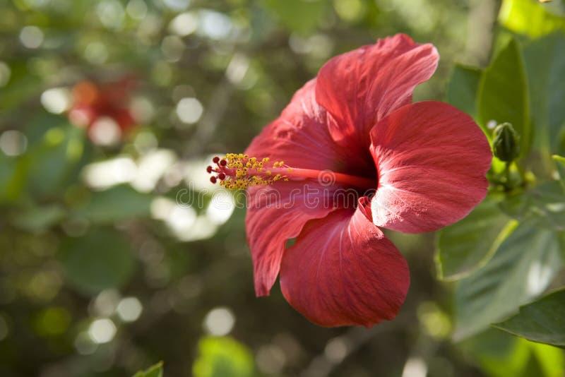 colore rosso dell'ibisco del fiore fotografia stock
