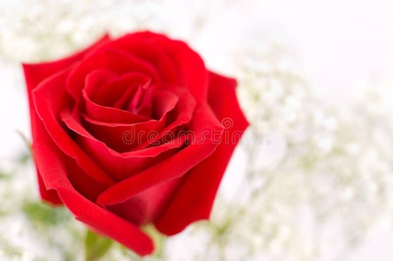 Colore rosso di rosa, macro fotografie stock