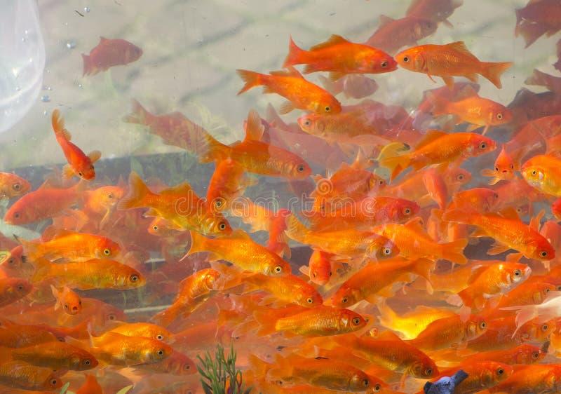 Colore rosso e pesci dell'oro fotografia stock libera da diritti