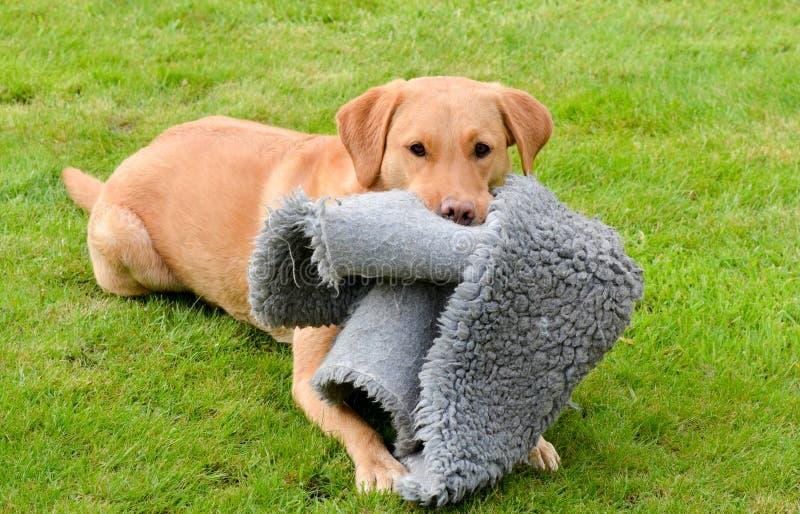 Colore rosso Labrador di Fox immagine stock libera da diritti