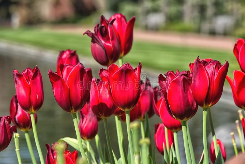 Colore rosso ricco dei tulipani della molla fotografie stock