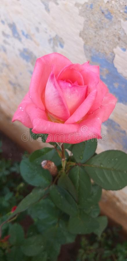 Colore rosso Rosa immagine stock