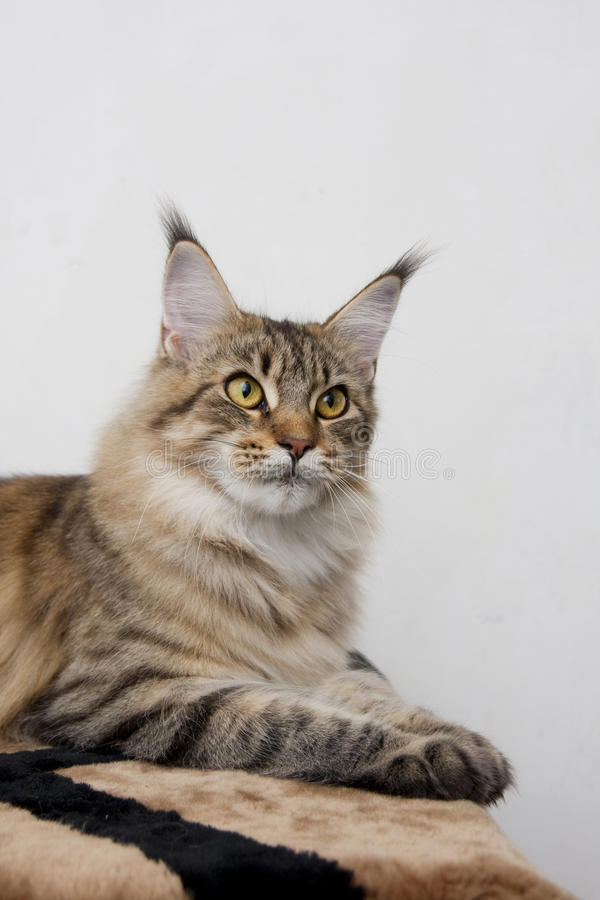 Colore selvaggio della razza del gatto di coon della Maine fotografia stock