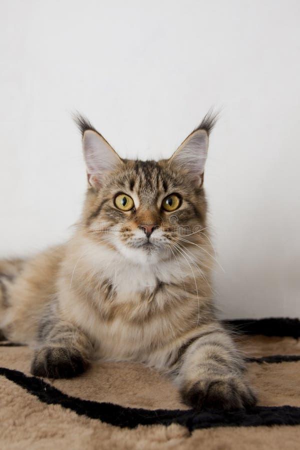 Colore selvaggio della razza del gatto di coon della Maine fotografia stock libera da diritti