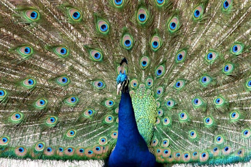 Download Colore vivente immagine stock. Immagine di uccello, prugna - 221981