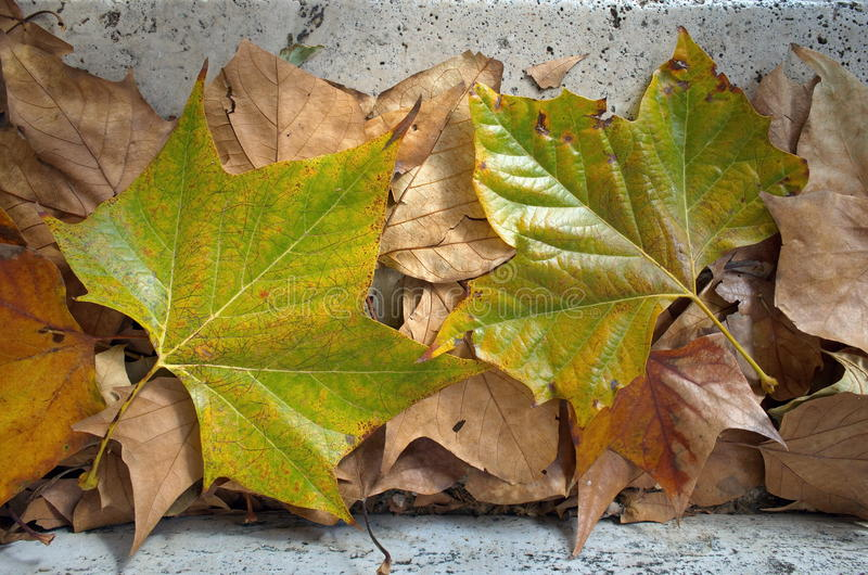 Autumn background. Colored leaves. Carpet of dry and green leaves royalty free stock photography