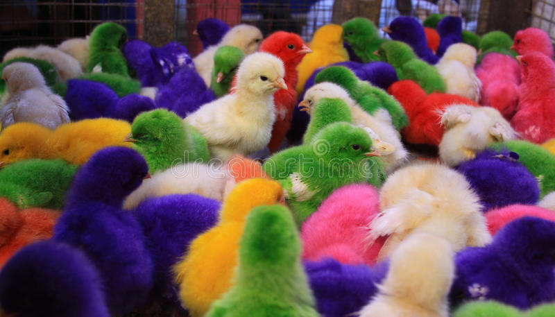 Colored baby chicken in Padang market. Pasar Raya, West Sumatra, Indonesia royalty free stock images
