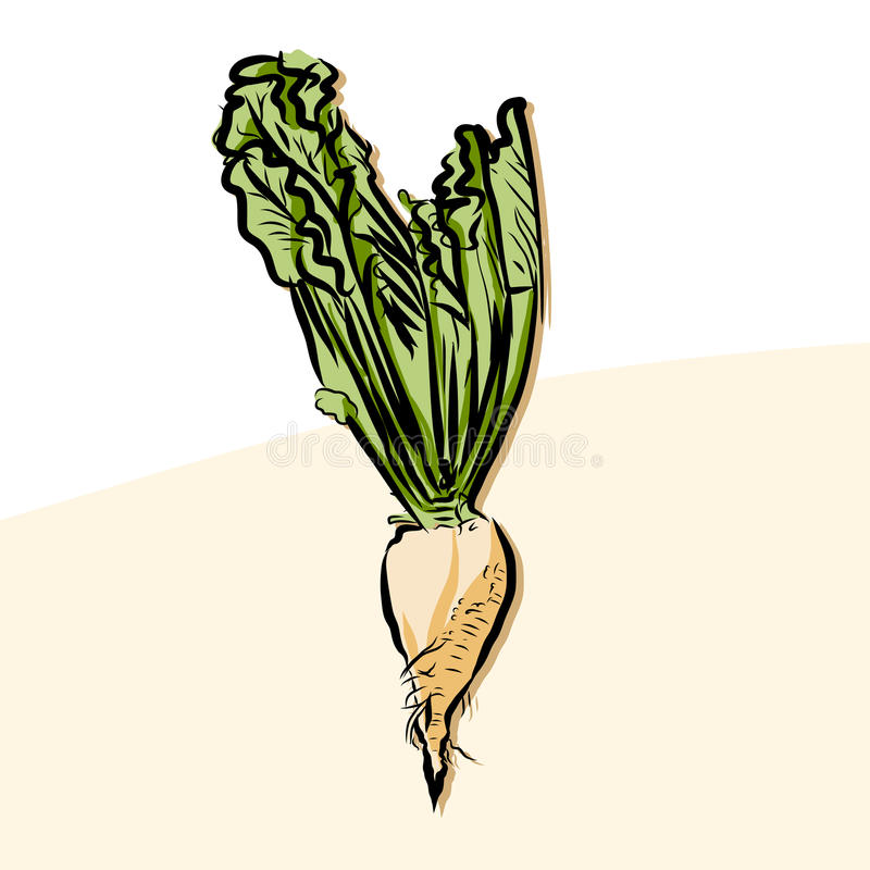 Colored beet sugar Vector Artwork. Fresh Food Collection, Handdrawn Clean Outline Sketch royalty free illustration