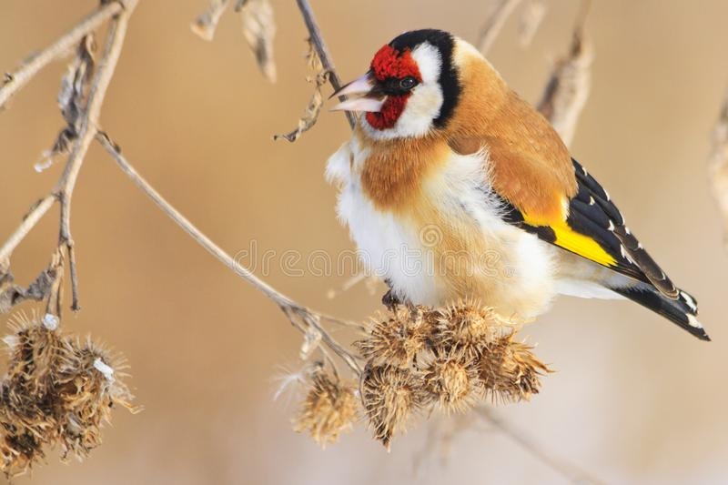 Colored bird in the winter morning looking for food. Wildlife, winter survival, cold and frost stock photos